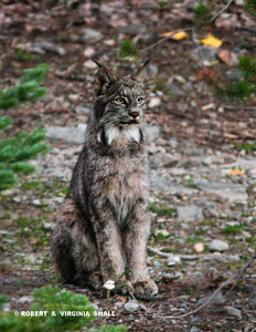 A BRIEF GLIMPSE WE HAD OF A LYNX  PAUSING NEAR A POND IN THE EARLY EVENING IN BRITISH COLUMBIA . . .