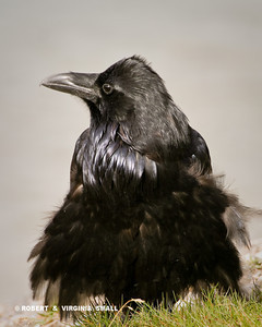 AN ELDERLY COMMON RAVEN, FEATHERS FLUFFED TO KEEP IT'S OLD BONES WARM
