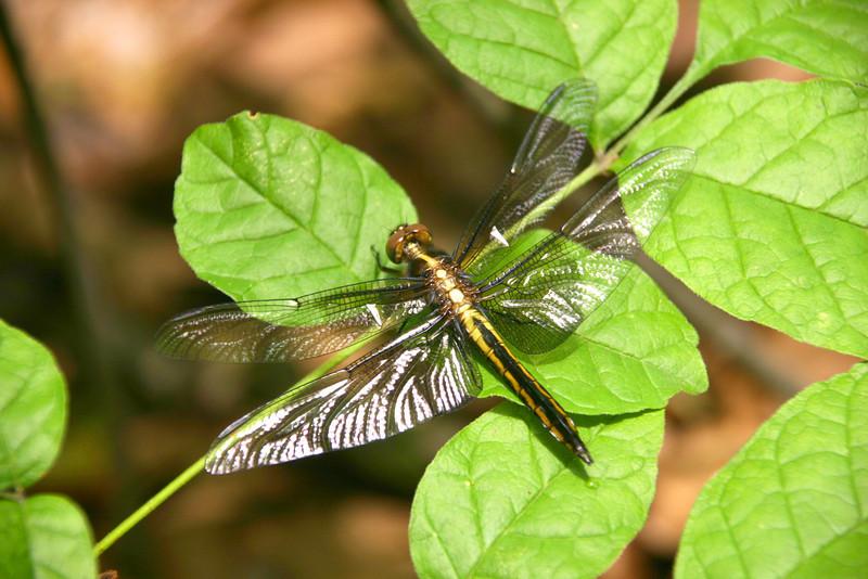 Dragonfly - Skimmer
