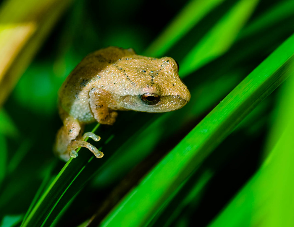 Spring Brown Peeper (Female)