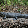 This mother alligator has a baby just above her tail