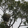 A bald eagle on his nest.  You can  just see his head.
