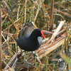 """My sister, Jean, reminded me this is a """"common moorhen"""".   He thinks he's a duck, but he doesn't have webbed feet."""