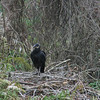 A black vulture.  not the same as a turkey vulture, but about the same size and just as ugly.