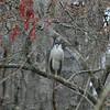 A black crowned night heron.  A rare bird.