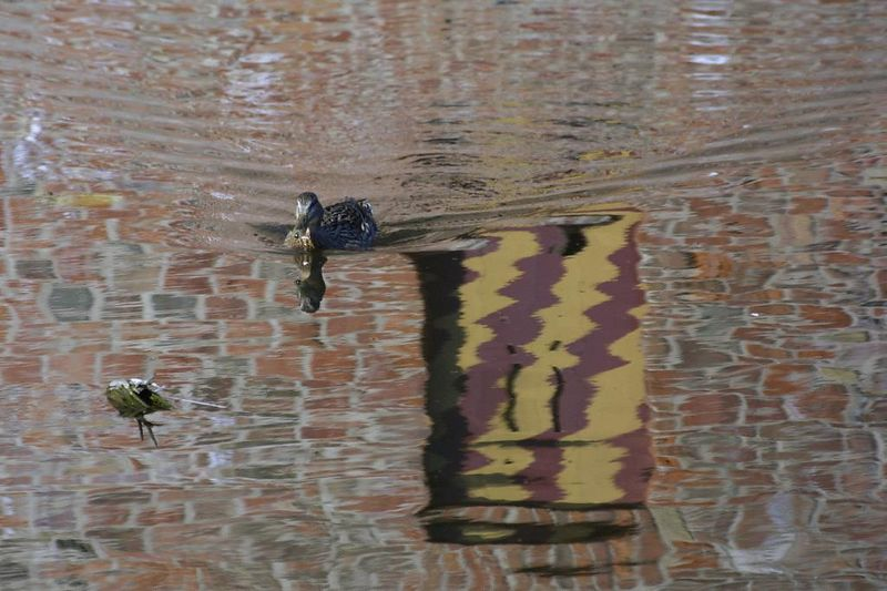 Ducks in the moat were busy as bevers chasing each other and/or building nests