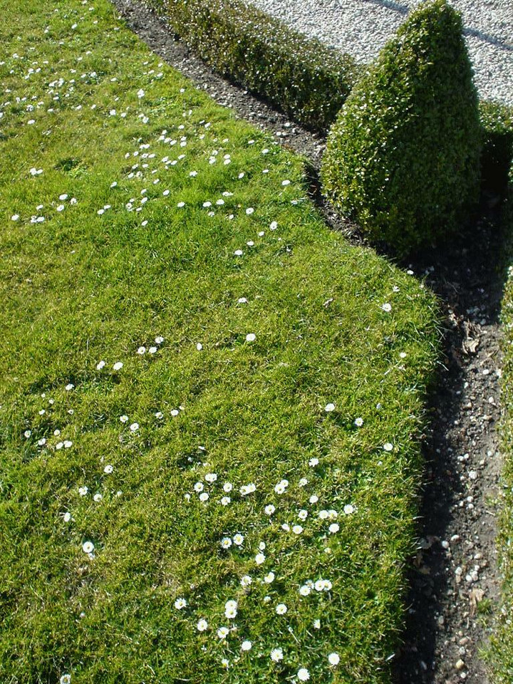 Patch of grass in the garden with tiny daisies in it