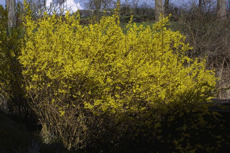 Forsythia, one of the first bushes to flower in Spring