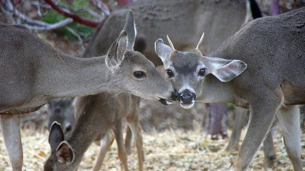 Mule Deer at Freshwater