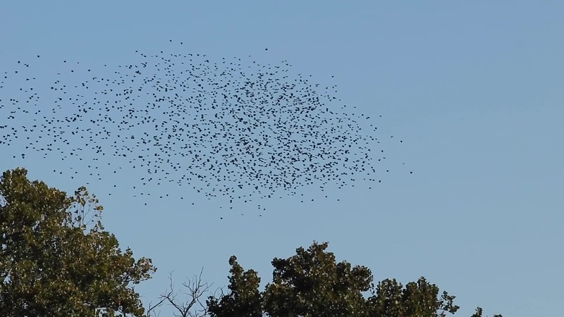 Common Grackle Murmuration