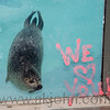 One of our seals at the Alaska Zoo checking out the window art.