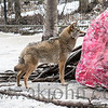 One of the coyotes at the Alaska Zoo check out his 'huge valentine'.