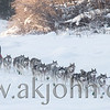 A Yukon Quest musher with a team of Siberian Huskies heading out on the trail on the Chena River in Fairbanks Alaska