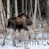 JANUARY 20, 2016 - A bashful moose that doesn't want its photo taken.