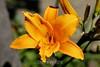 Hemerocalis (Day Lily) (43) D