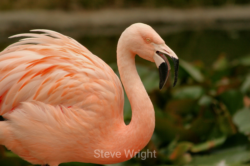 Flamingos - SF Zoo (31) D