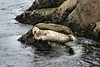 Harbor Seals - Monterey Bay (29) D