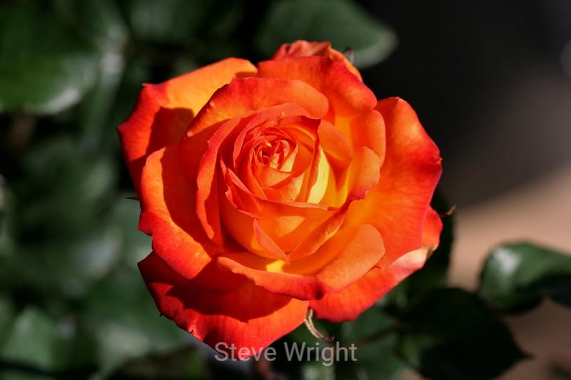 Rose (2) D
