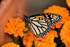 Monarch Butterflies - Conservatory of Flowers (1)