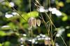 Greater Quaking Grass (3) D