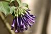 Violet Tubeflower (4) D