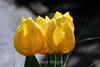 Tulip (44) D