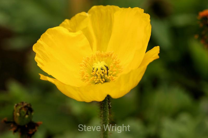 Poppy (123) D