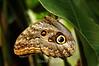 Owl Butterflies - Costa Rica (4) D