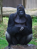 Gorillas - SF Zoo #5696