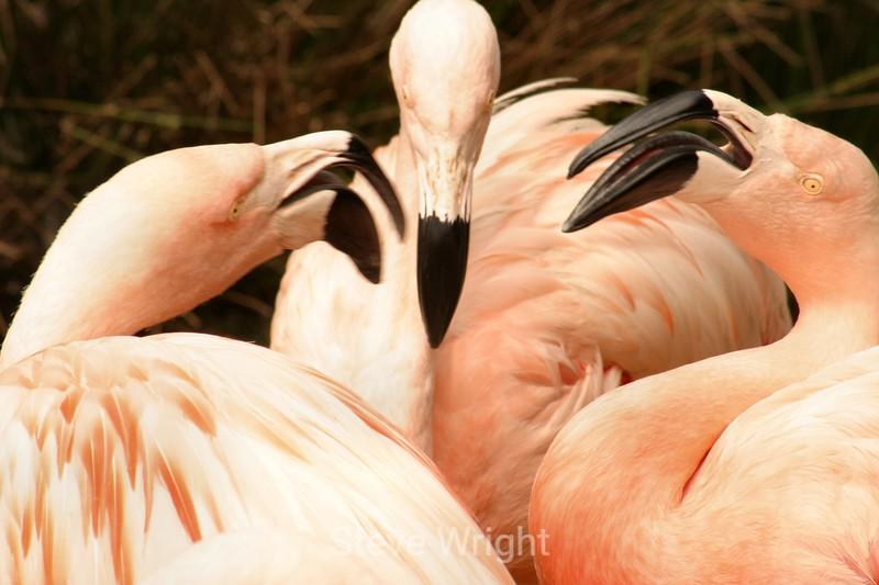 Flamingos - SF Zoo (33) D