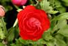 Ranunculus (58) D