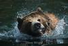 Grizzly Bears - SF Zoo #5892