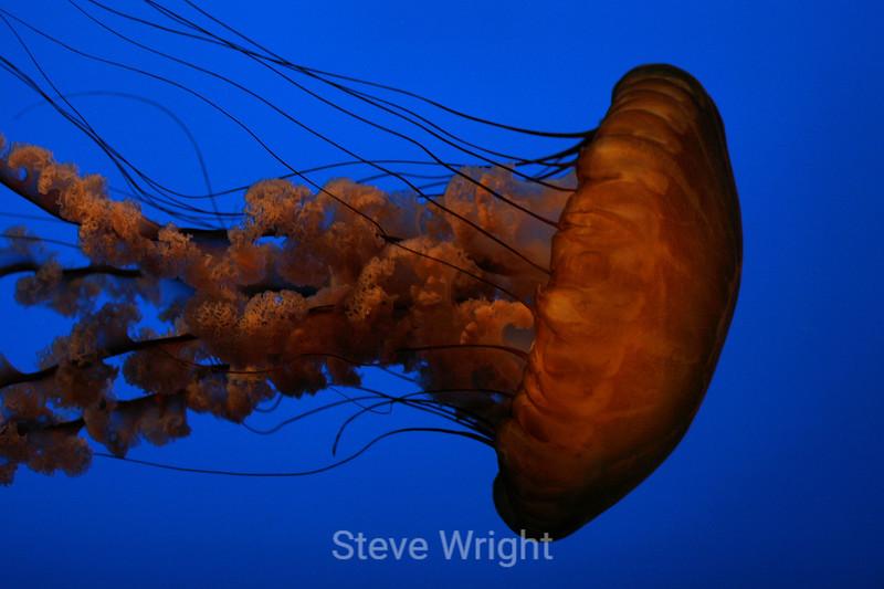 Sea Nettles - Monterey Aquarium (13) D