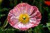 Poppy (127) D