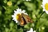 Chrysanthemum (175) D