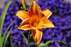 Hemerocallis (Day Lily) (22) D