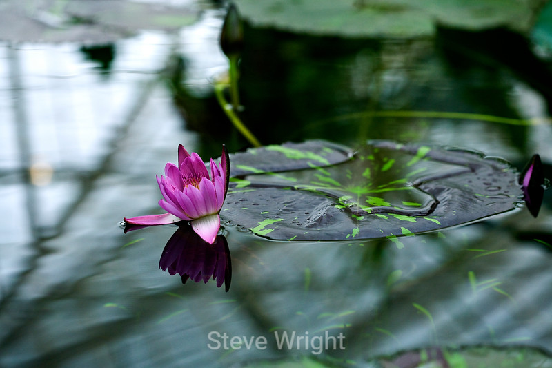 Lily Pad - Conservatory of Flowers (1)