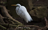 Great Egret - SF Zoo #5438