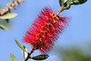 Bottlebrush - SF Zoo (2) D