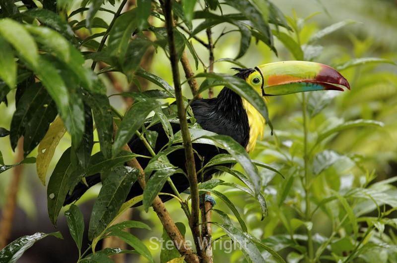 Rainbow-Billed Toucan - La Paz Costa Rica (15) D