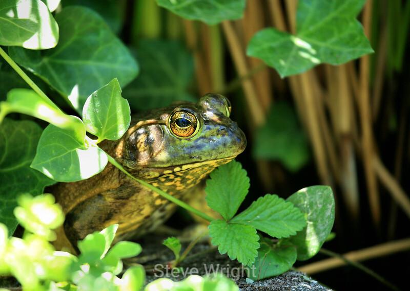 Frogs - Hakone Garden (11) D