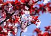 Cherry Blossoms (14) D