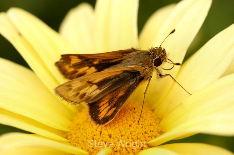 Argyranthemum (12) D