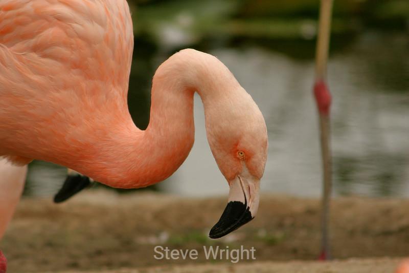 Flamingos - SF Zoo (23) D