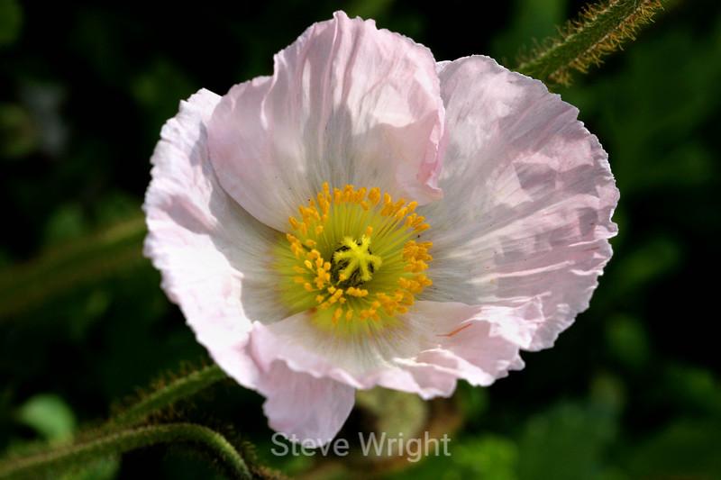 Poppy (129) D