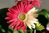 Transvaal Daisy (14) D