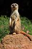 Meerkats - SF Zoo (4998)