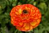 Ranunculus (63) D