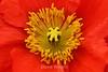 Poppy (116) D