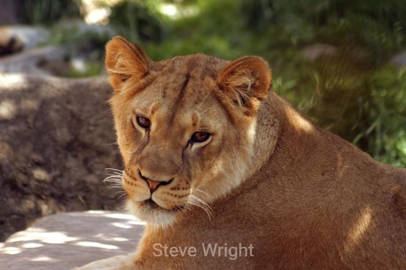 Lion Cubs - SF Zoo (57) D